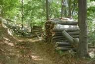 bosco faggio